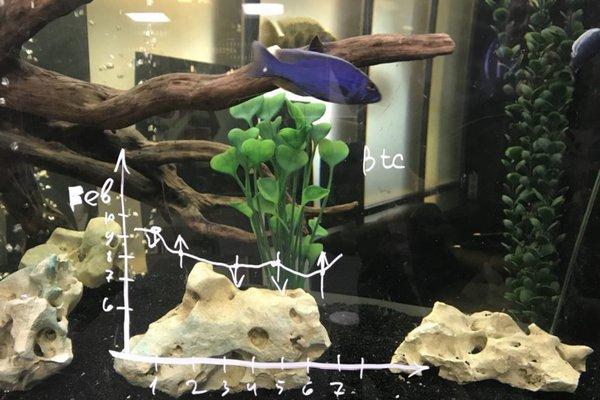 Аквариумная рыбка Кшиштаф предсказывает курс биткоина
